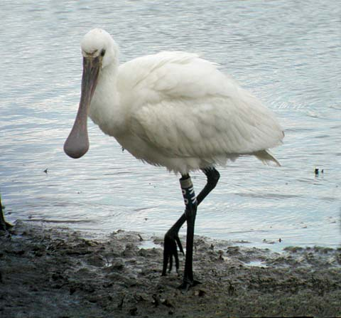 wallpapers of eurasian spoonbill crane wiki